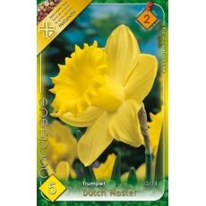 Narcissus Trumpet - Dutch Master